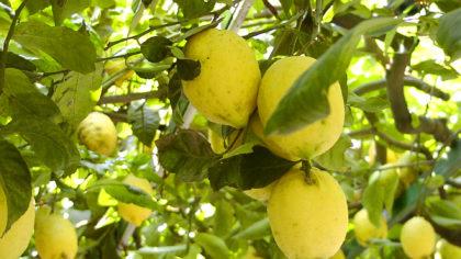 La foto dei limoni della Costiera Amalfitana